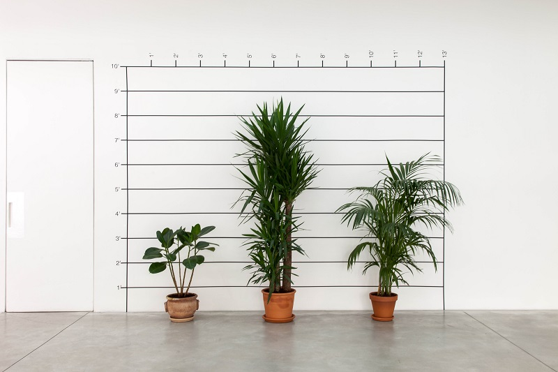 Mel Bochner, Measurement plant, 1969-2015, n. 3 piante, strisce e numeri trasferibili su muro, misure ambientali